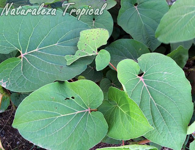 Vista de las hojas de la planta Caisimón de Anís o Hierba Santa, Piper auritum