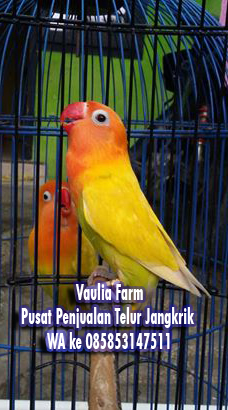 Tips Memilih Lovebird Ombyokan yang Bagus Order WA 0858-5314-7511 10 Tips Memilih Lovebird Ombyokan yang Bagus