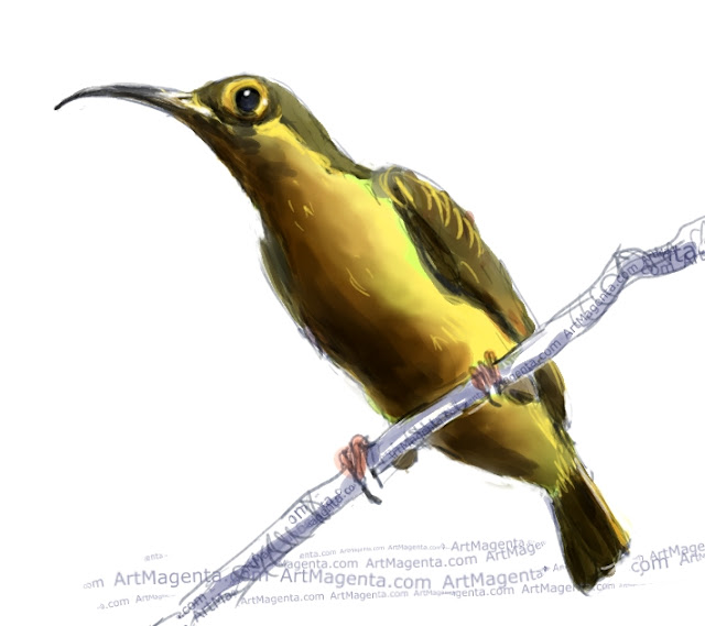 Spectacled spiderhunter sketch painting. Bird art drawing by illustrator Artmagenta