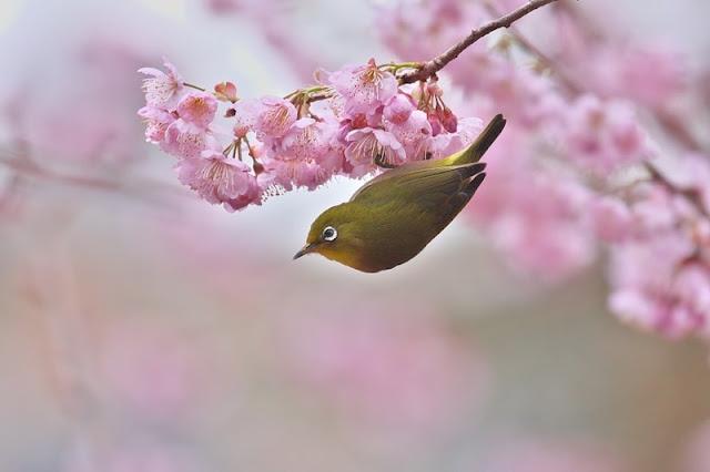 Chùm ảnh đẹp Hoa Anh Đào Nhật Bản vào tháng 02/2020 17