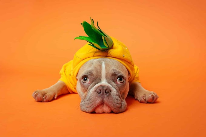 Can Dogs Eat Pineapple | Is Pineapple Bad For Dogs