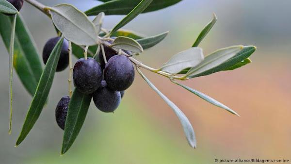 Ζημίες και στα ελαιόδεντρα στο Δήμο Ελασσόνας