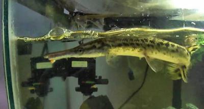 Perawatan Ikan Aligator Yang Benar