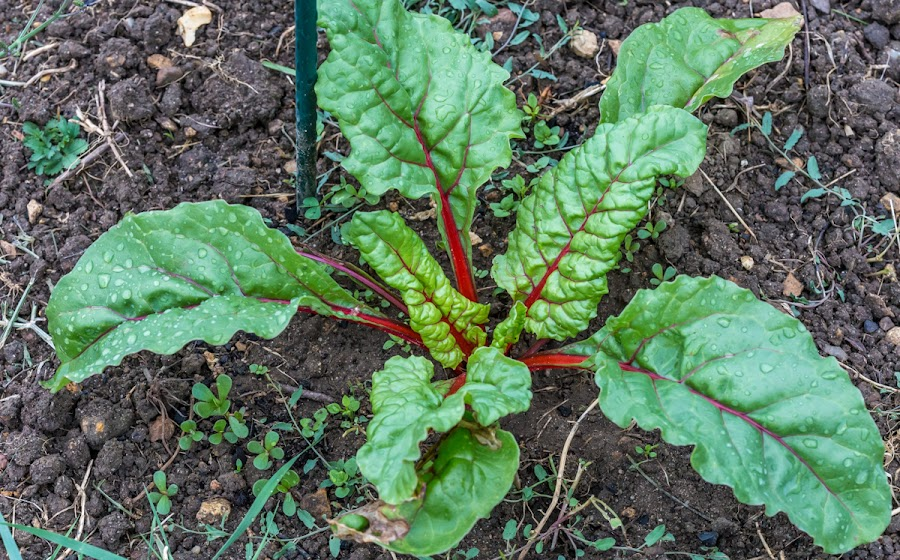 Red-ribbed chard