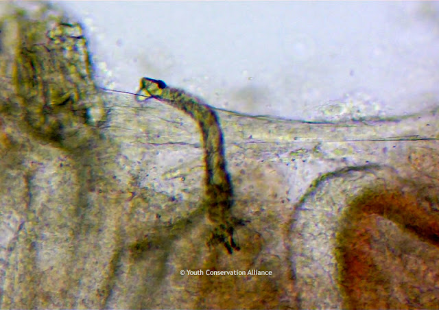 Microscopy image of a parasite under a fish gill.
