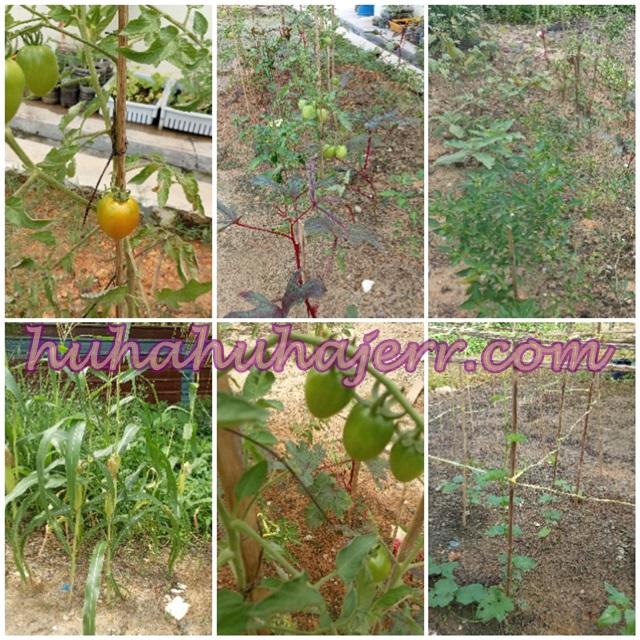 Bercucuktanam Sayuran Di Tepi Rumah, Haihhh!!!