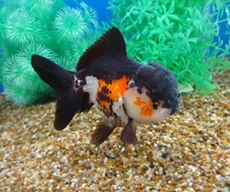 Ikan Koki, Paling lucu diantara Keluarganya
