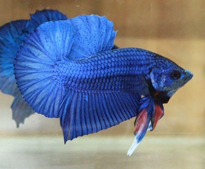 Image Blue Betta Fish Names Plakat
