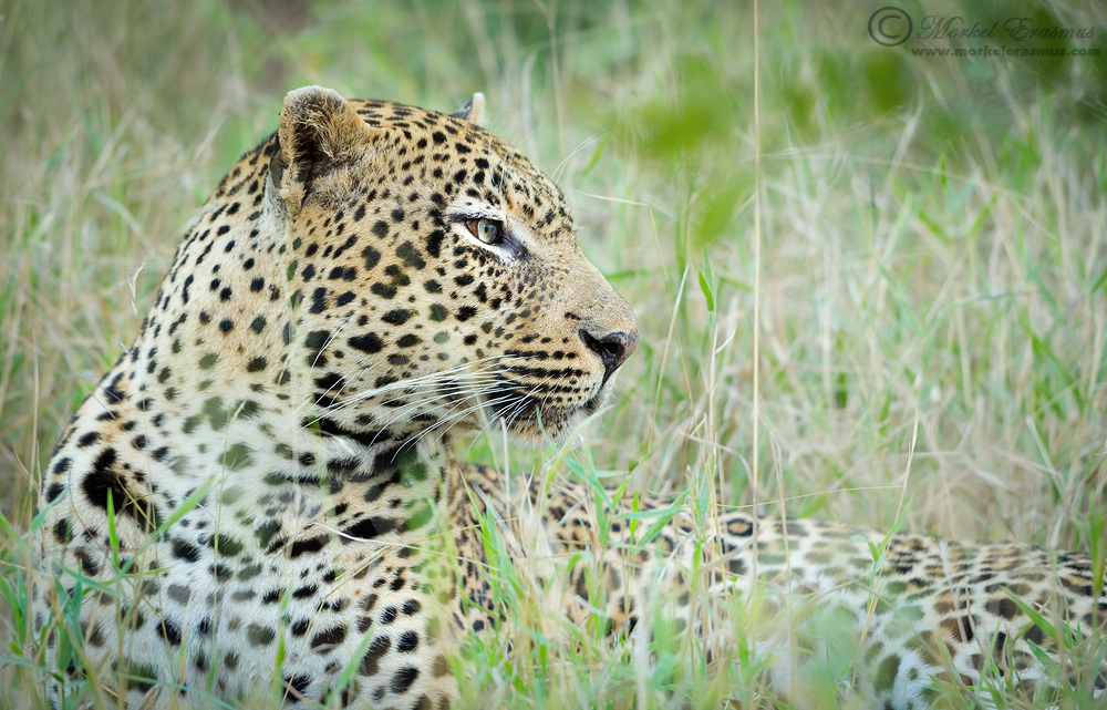 View of a Leopard