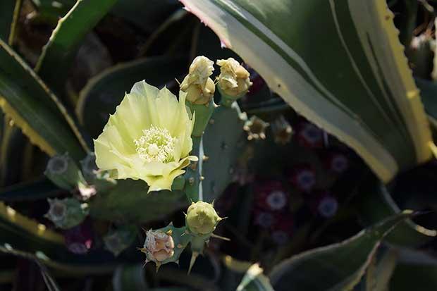 Fiore di ficodindia