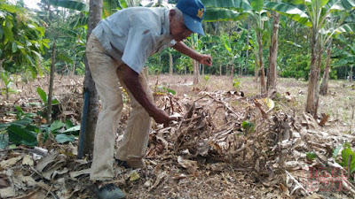 membersihkan lahan untuk menanam pisang
