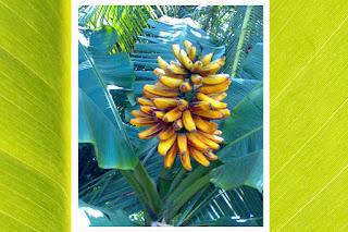 pisang, pisang tongka langit, tongka langit maluku