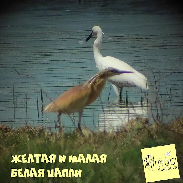 цапли озера Кызыл Яр Крым
