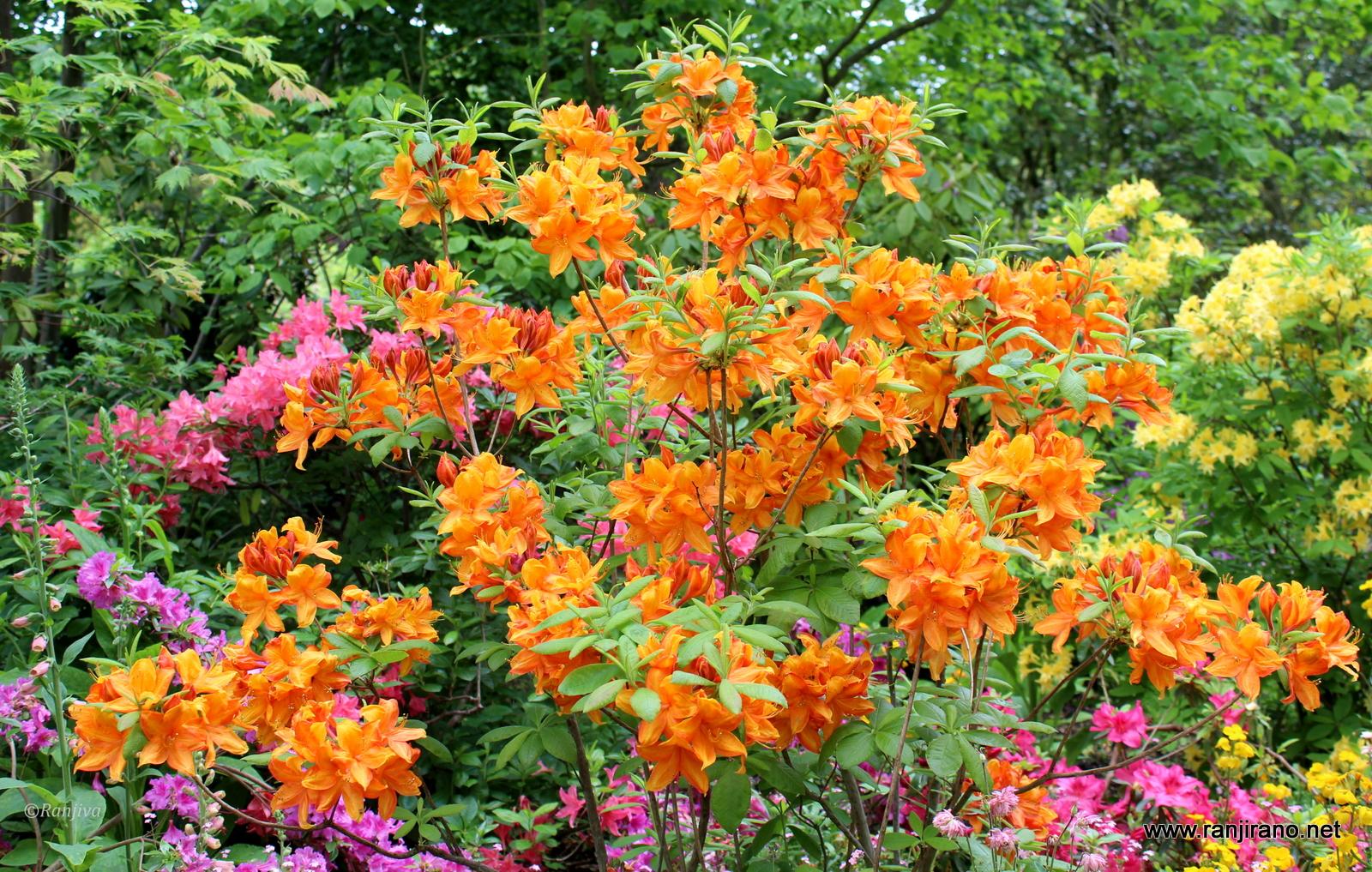 Des azal es japonaises dans toute leur splendeur fleurs for Un jardin de fleurs