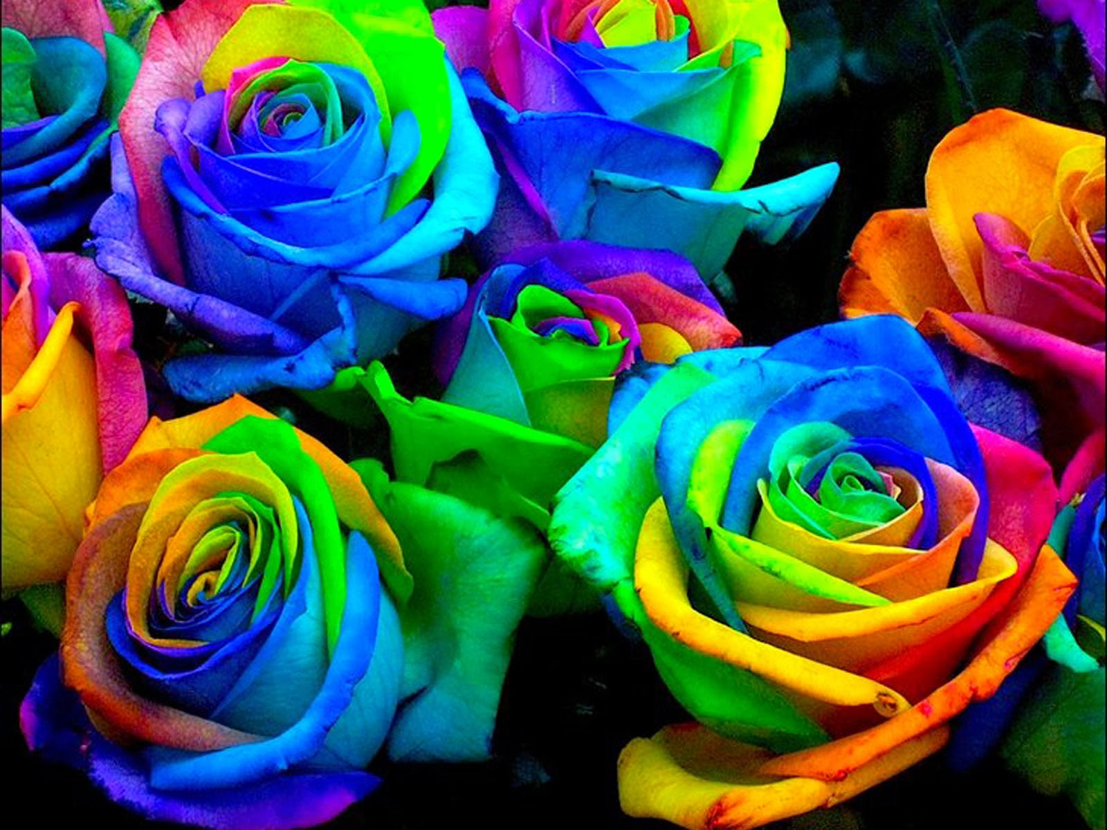 wallpapers: Colorful Rose Wallpapers