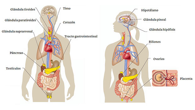 Aprendiendo sobre el cuerpo humano