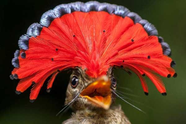 Papa-moscas real da Amazônia