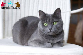 Kucing Russian Blue