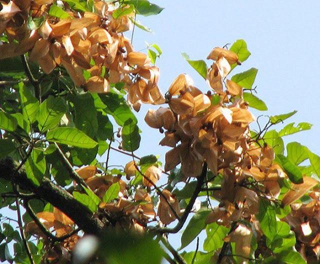 CÂY LƯỜI ƯƠI - Sterculia lychnophora - Nguyên liệu làm thuốc Chữa Ho Hen