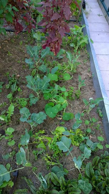 Gemüse im bewässerten Gartenteil (c) by Joachim Wenk
