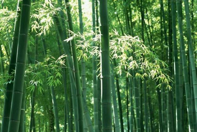 bamboo feng shui
