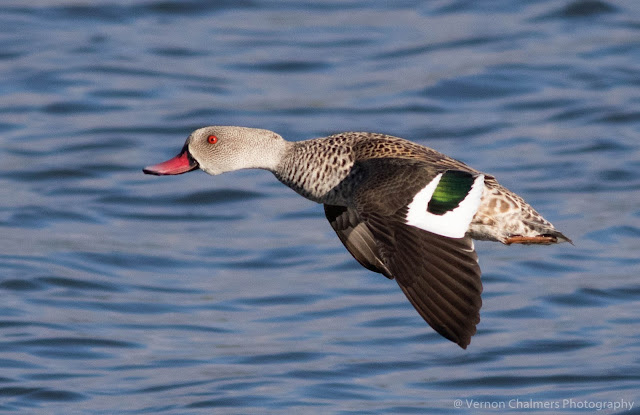 Cape Teal Duck in Flight Table Bay Nature Reserve Woodbridge Island Vernon Chalmers Photography Copyright