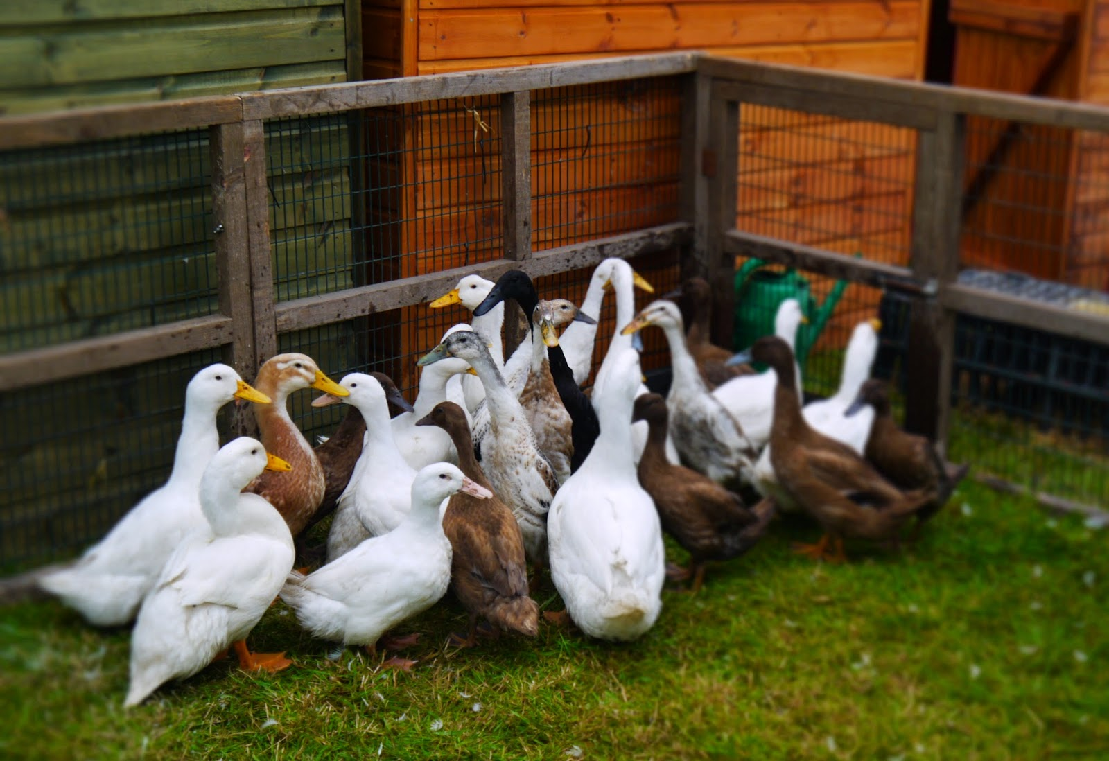 Mid Somerset Show Ducks and Geese