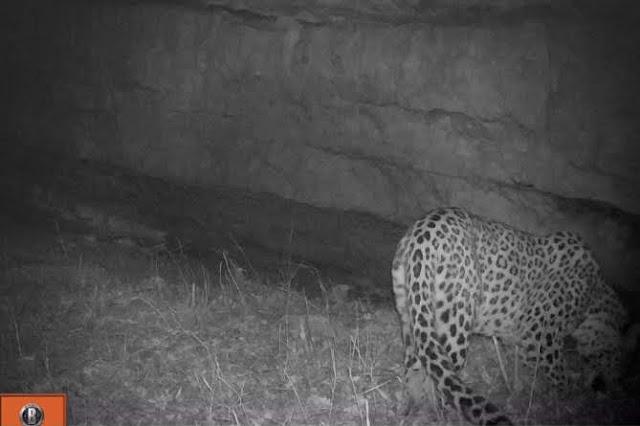 Leopardo regresa Tavush 50 años