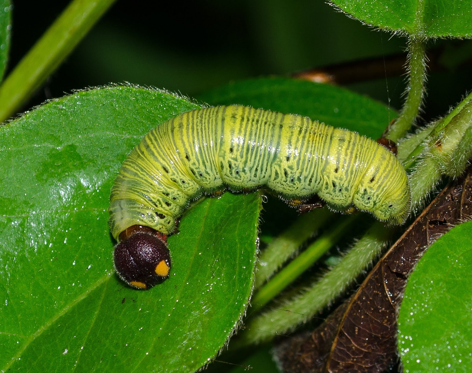 Silver-Spotted Skipper Caterpillar