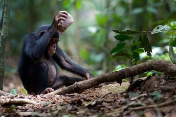 https://1.bp.blogspot.com/-5Xqfsvdft58/T640j_5rJcI/AAAAAAAAFlk/kq-aKmLC9mk/s1600/young-chimp-cracking-nut.jpg