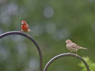 Photo of male and female House Finches on shepherd's hook