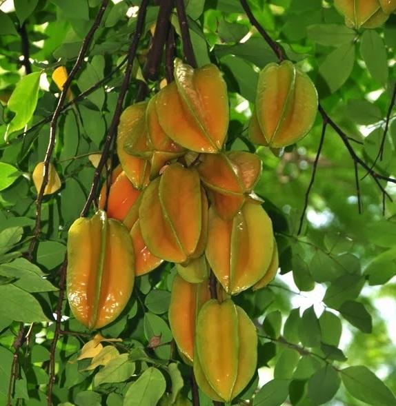 Gambar buah belimbing