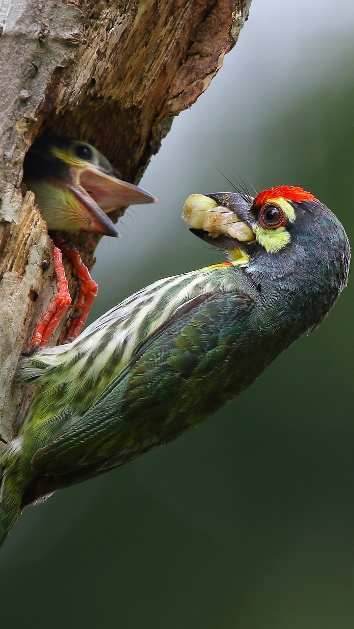 Coppersmith barbet feeding it's young.