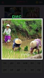 в поле женщины собирают урожай риса