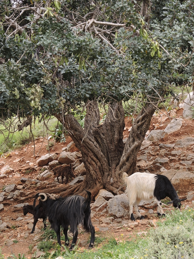 "Crete - ""almiros"" -  walk with goats and other animals"