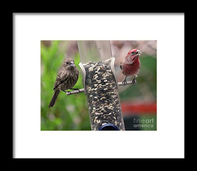 This is a screen shot of a framed photographthat  I'm selling it via Fine Art America. It features a couple of House finches at a tube shaped bird feeder filled with seeds. The female (brownish) is on  the left side of the feeder while the male (red) is on the right of the tube. Info re this work of art is @ https://fineartamerica.com/featured/dinner-for-two-patricia-youngquist.html?product=framed-print