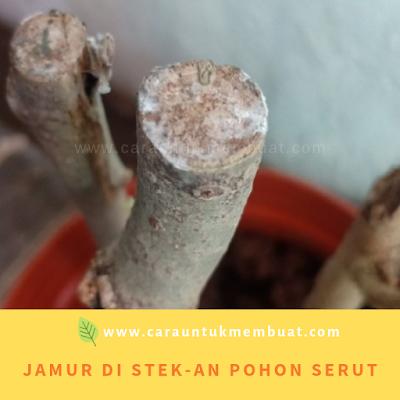 Jamur Di Batang Stekan Pohon Serut