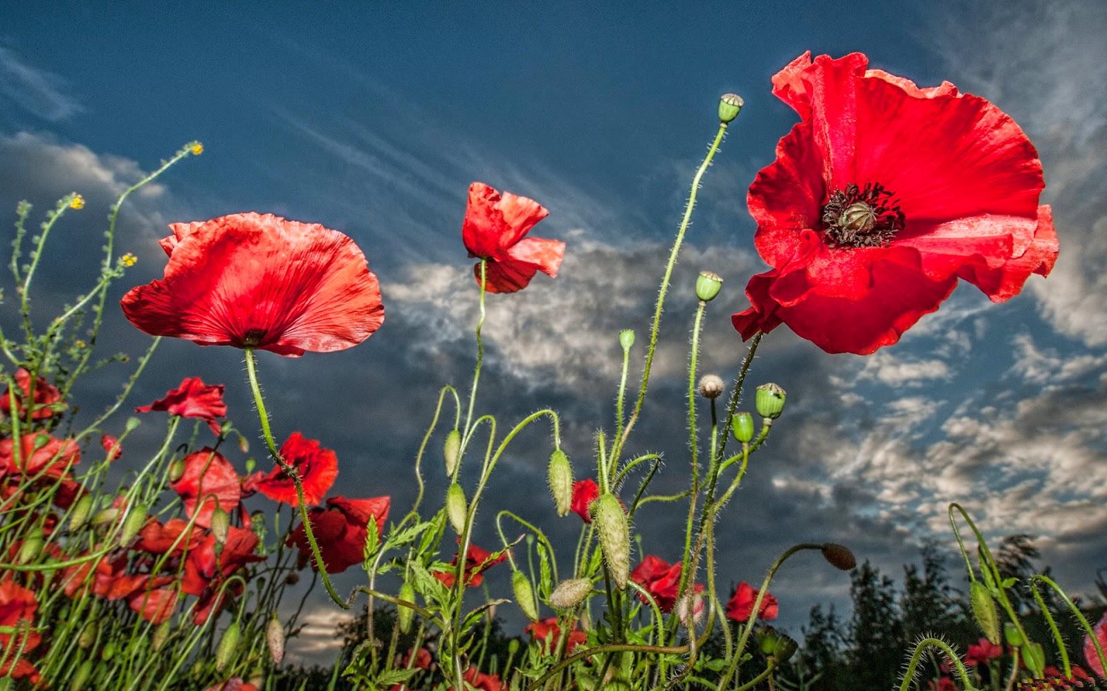 Iphone 5 Wallpaper Floral Red Poppy Flower Wallpaper