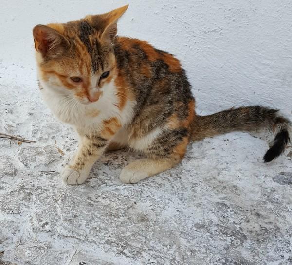 santorini kitten