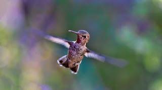 Burung Kolibri, Burung dengan Kepakan Sayap Tercepat di Dunia