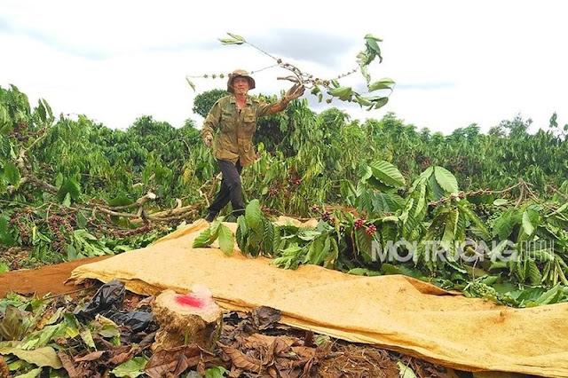 Gia Lai: Bức xúc khi vườn cà phê chín rộ chưa kịp hái đã bị đốn hạ