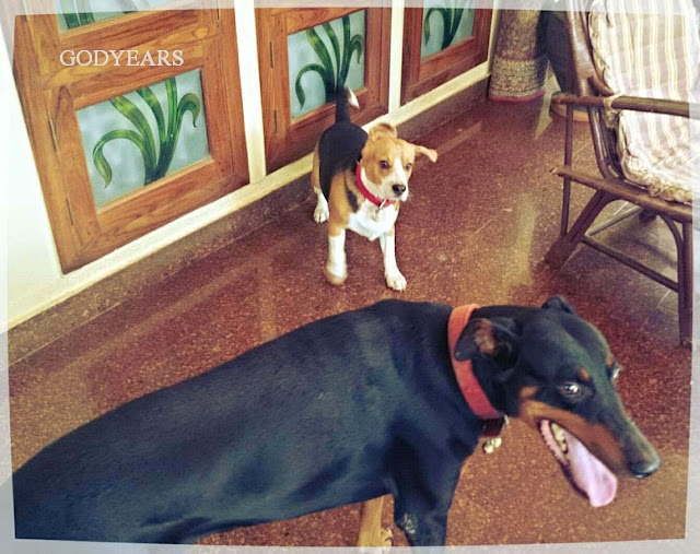 doberman and beagle playing together