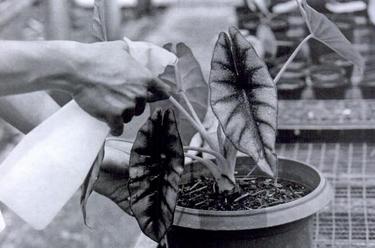 Cara menyiram tanaman hias