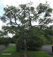 Colville's glory tree - Ho'omaluhia Botanical Garden, Kaneohe, HI