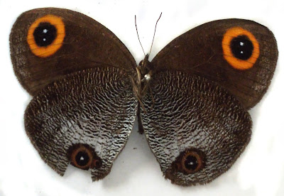 New butterfly species described from Dibang Valley in India