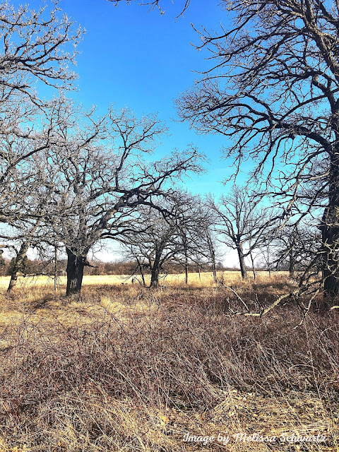 A stand of old oak trees stands watch at Bowes Creek Woods Forest Preserve in Kane County, Illinois.