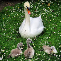 Pictures of Dublin Parks: Swans in Stephen's Green