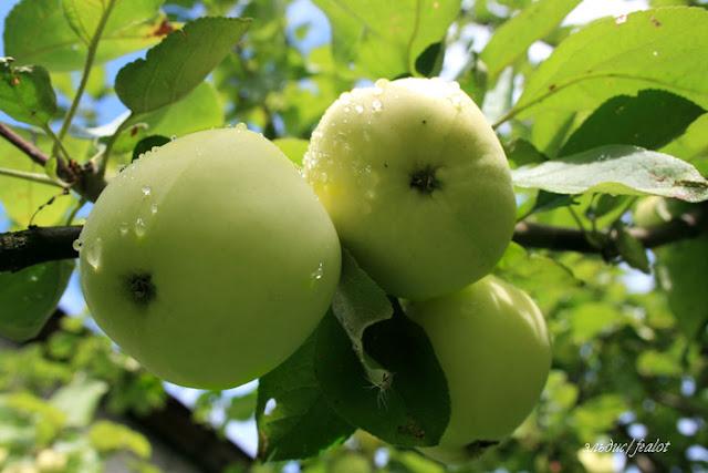 Яблука сорту Білий налив