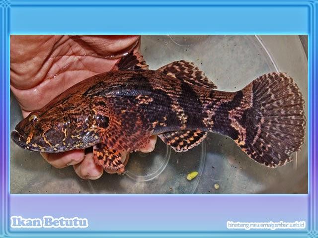 gambar ikan betutu - gabus broso - gabus males