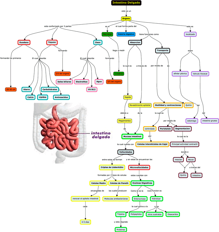 Mapa de concepto del intestino delgado